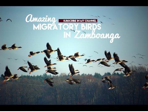 Amazing migratory birds in Zamboanga