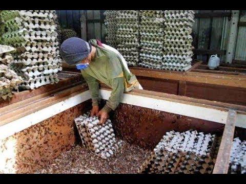 Зачем Китай выращивает 6 миллиардов тараканов в год ?
