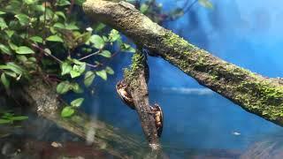 HIDDEN VIDEO: Awesome Diving Beetle & Whirligig Beetle Paludarium