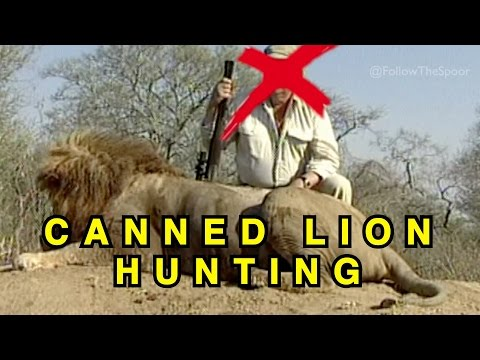 Canned Lion Hunting - (with Hunt Scene)
