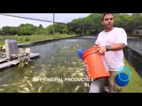 Siembra engorde y reproducci n de tilapias funnydog tv for Criar mojarras en casa