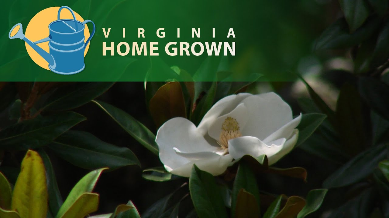 Caring For Southern Magnolia Trees Youtube
