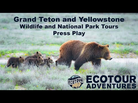 Best Wildlife Tours In Jackson Hole, Yellowstone and Grand Teton National Parks