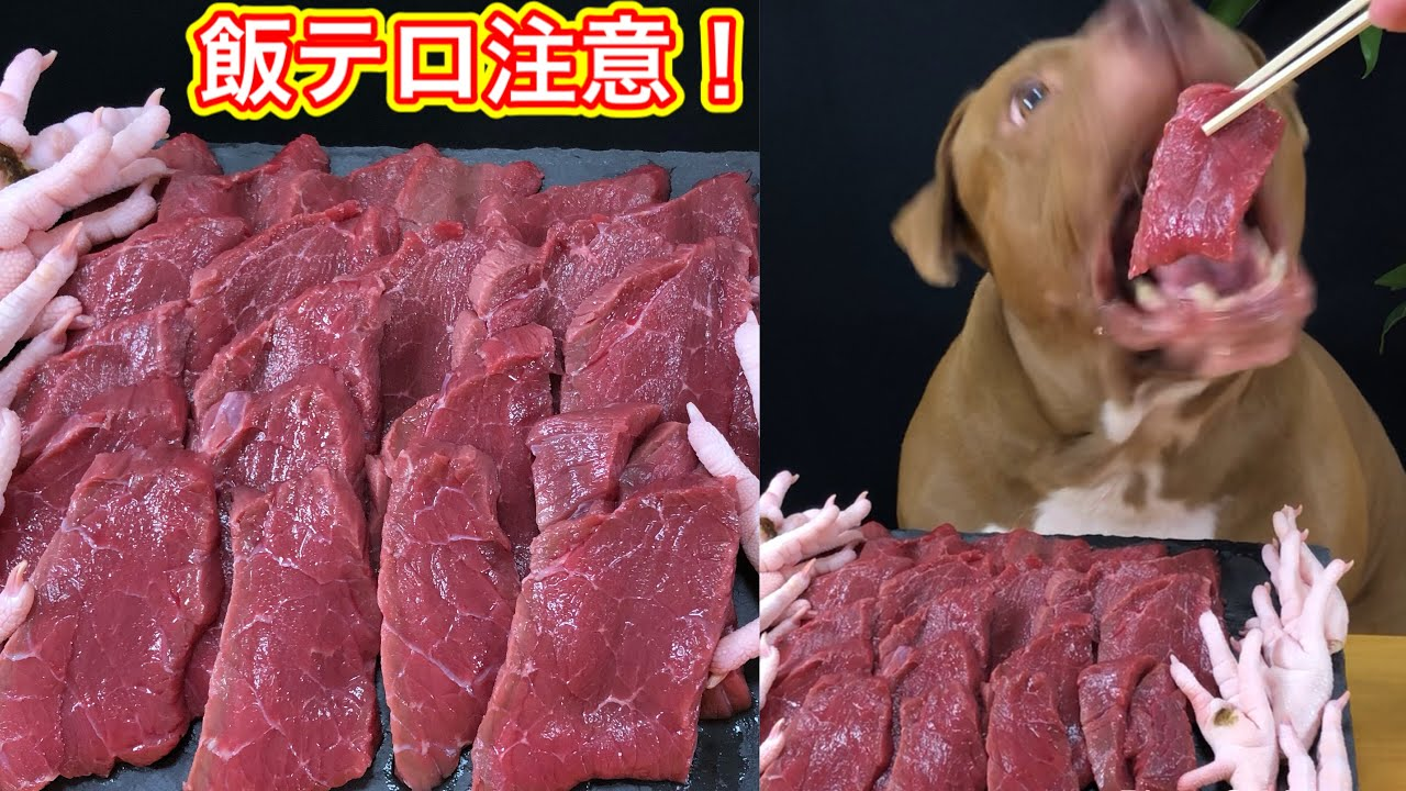 【飯テロ】ピットブルが牛肉を生でペロリと食べる!肉テロ注意!ASMR、咀嚼フェチ必見動画!