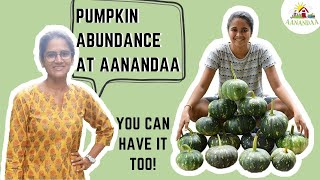 Pumpkins (Part 2) - ABUNDANT HARVEST