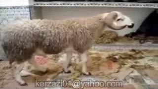 C'est dommage pour le Mouton de l'AID EL KEBIR