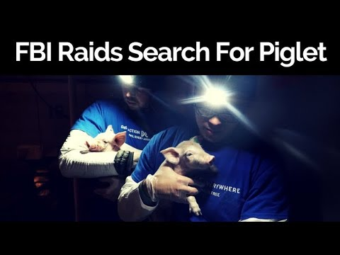 FBI Raids Animal Shelters Searching For Rescued Piglets