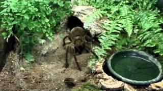 Theraphosa feeding compilation (2)(, 2011-03-13T17:13:47.000Z)