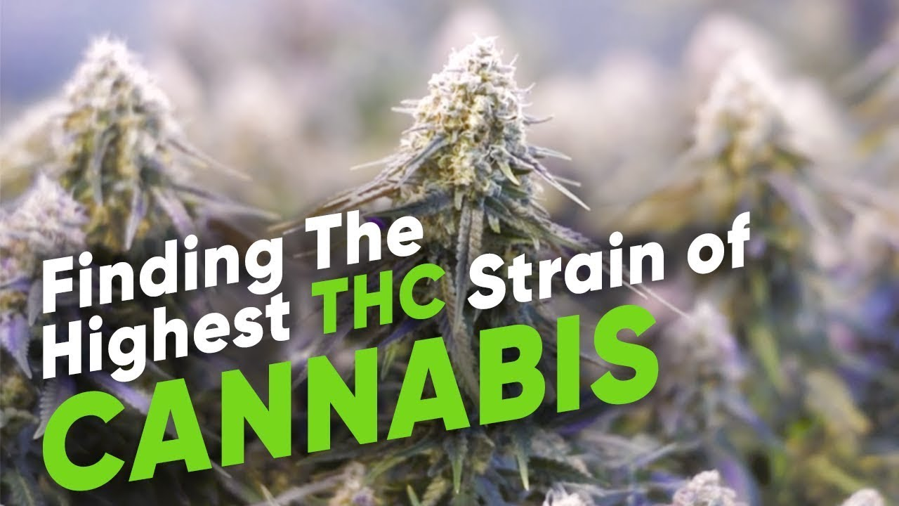 Finding The Highest THC strain of Cannabis