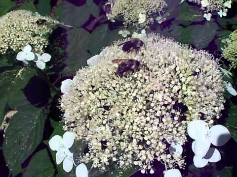 New York City up-close - bees at work in a New York City garden