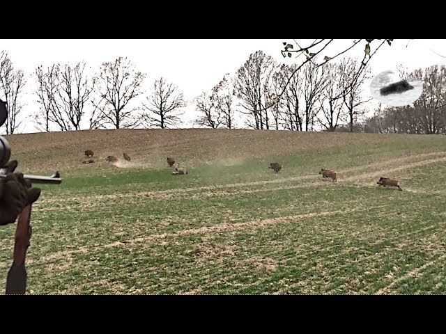 Wild boar driven hunting in December 2018 - best moments #1