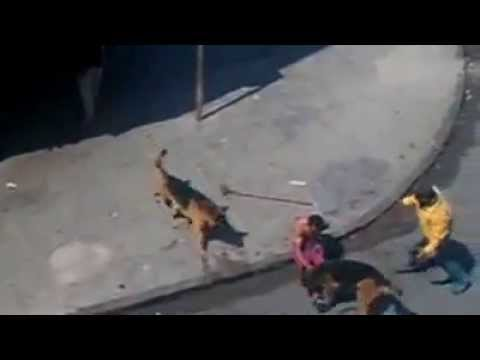 Two german shepherd attacking people in Morocco - YouTube