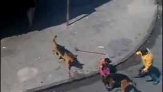 Two German Shepherd Attacking People In Morocco