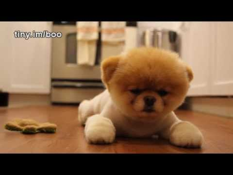 Boo The World S Cutest Dog Greatest Hits All Videos Hq