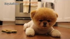 Boo - The World's Cutest Dog - Greatest Hits! ( All Videos HQ ) - MUST SEE!