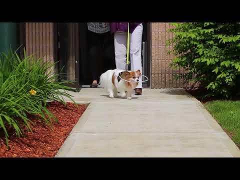 Walkin Blind Dog Halo | Dog Wheelchairs, Dog Carts