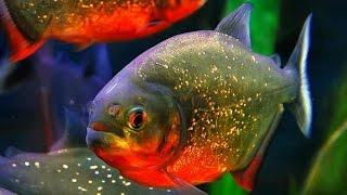Пиранья краснобрюхая - Red Bellied Piranha (Энциклопедия животных)