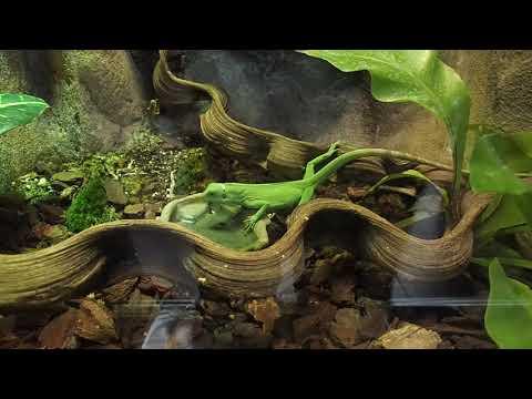 102 Brachylophus fasciatus Fiji banded iguana females Zoo Amsterdam 2017