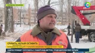 Старые деревья рассорили жителей Кишинева   МИР24