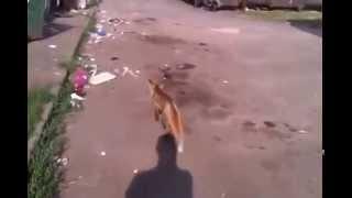 Лиса на прогулке - Кривой Рог Ингулец(, 2015-10-22T19:33:42.000Z)