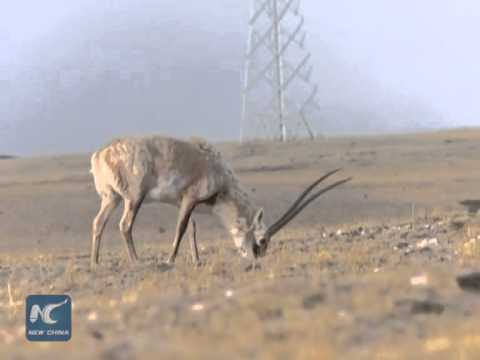 Pregnant Tibetan antelopes migrate early this year
