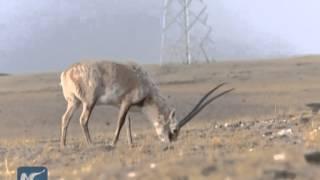 Pregnant Tibetan antelopes migrate early this year