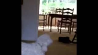 Surviving Grandmas Evil Poodle Attack!
