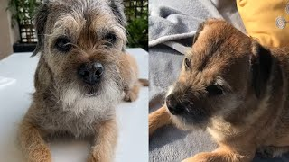 PLAYFUL AND PROUD BORDER TERRIERS