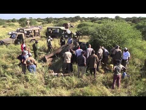 IFAW Tracking Elephants in Amboseli National Park, Kenya with Satellite Collars