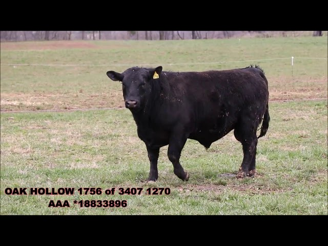 Oak Hollow Angus Lot 10