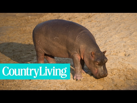 Watch Fiona the Baby Hippo Take Her First Steps and Squeal Forever | Country Living