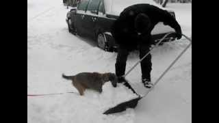Border Terrier Helping In Snow Removal