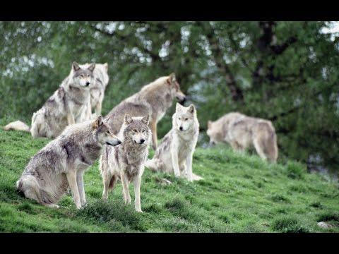 Жизнь волков