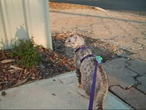 Ocicat on a leash