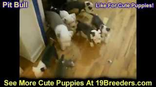 Pitbull Terrier, Puppies, For, Sale, In, Cedar Rapids, Iowa, Ia, West Des Moines, Ames, Council Bluf