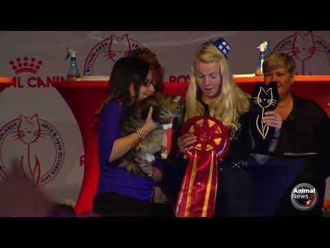 WCS17 Best In Show -  House Cat Lh & Sh