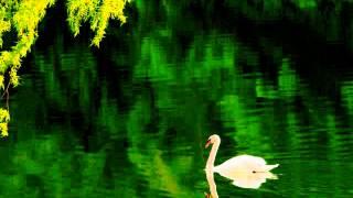白鳥/クラシック(サン・サーンス)の動画