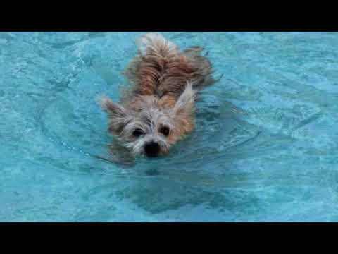 Norwich Terrier - small dog breed
