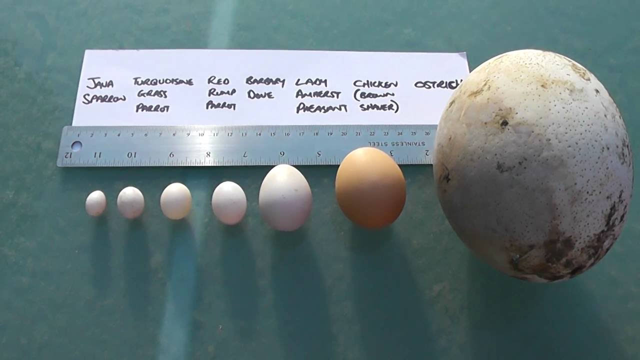 Bird Egg Size Comparison. Largest Egg in the World. - YouTube