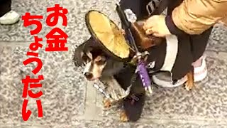 京に住む外国観光客相手に戯れる侍犬・正宗(まさむね) 自由を愛して旅を続け、日本各地の里を訪れて地域の物産や人々の温かさに触れ合う。...
