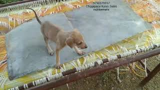 Chippiparai Kanni dogs available 9790379957