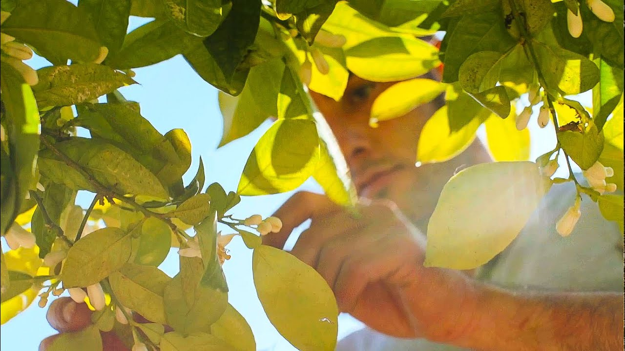 Orange Blossoms: Reviving a Family Tradition in Liguria, Italy