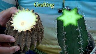 How to Graft big cactus plant