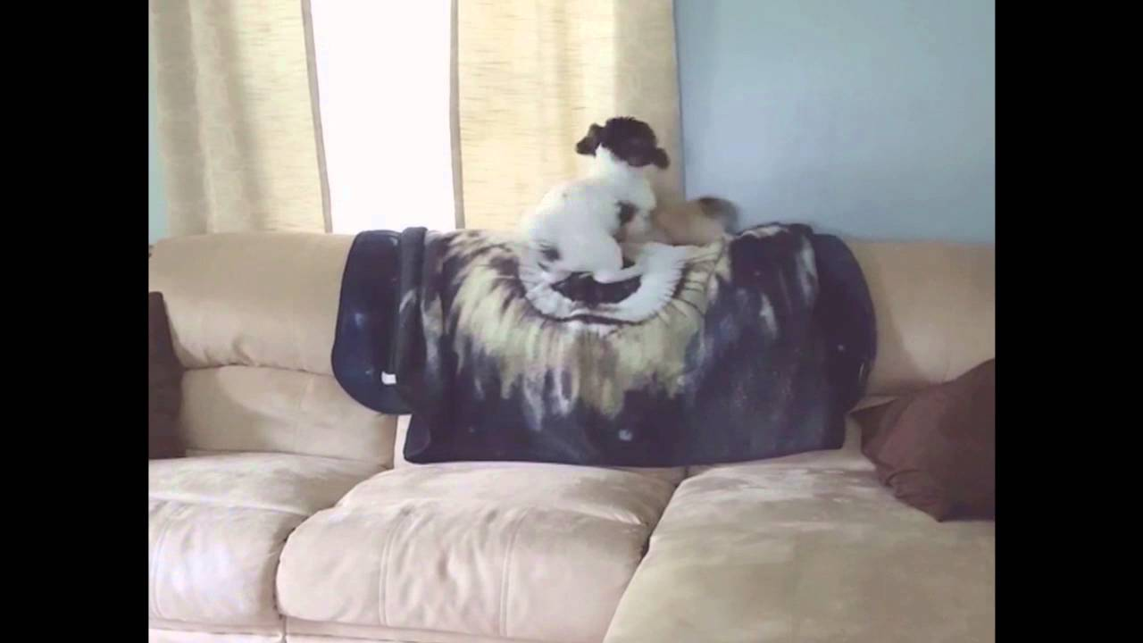 Dog Knocks Another Dog Off Of Couch YouTube