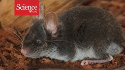Blind mouse navigates like a bat