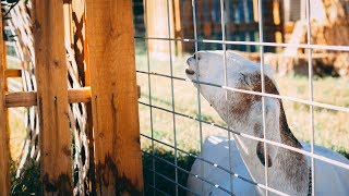 EXTREME bloat in goats: What to do