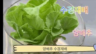 양배추 수경재배
