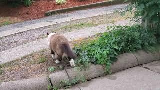 Ugo Chan ragdoll cat walking on the leash. Escape from Alcatraz.