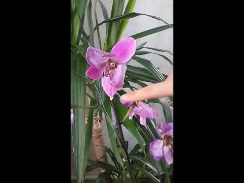orkidenin budanması ve çoğaltma yöntemi