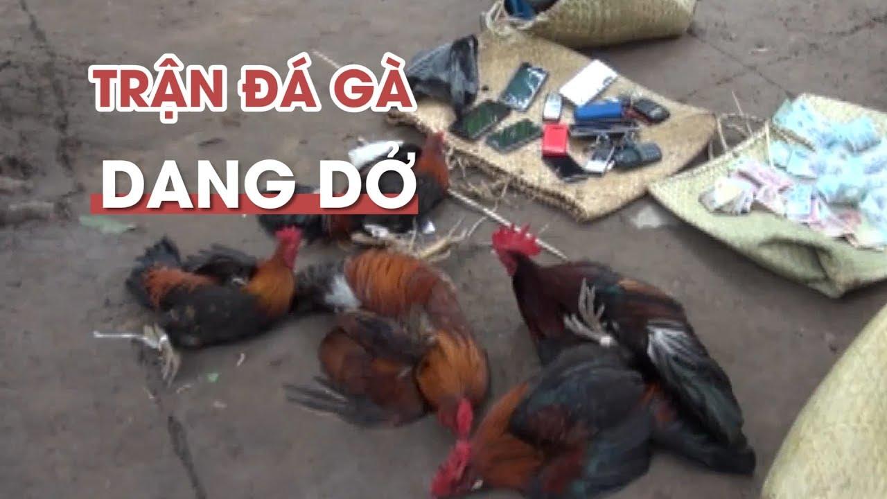 Trận đá gà dở dang trong vườn dừa ở Bến Tre